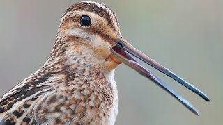 Download Common Snipe. Singing male.