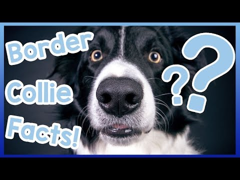 All About Border Collies! Facts About Border Collie Dogs!