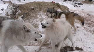 International Wolf Center- Clear and Cold 17 February 2018