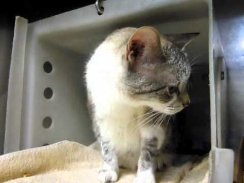 MARIA, older siamese lynx point snowshoe female cat, gentle, purry, beautiful