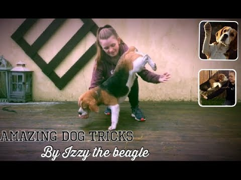 Amazing dog tricks - Izzy the beagle doing handstand and stunts