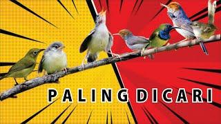 Masteran burung kecil paling dicari para kicau mania