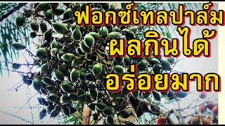 ปาล์มหางกระรอก ผลกินได้,Foxtail palm,Black palm