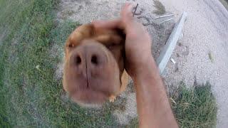 Sawyer, The American Bull Dogue De Bordeaux!