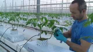 Zakładanie klipów ze sznurkami na planty pomidorów. Praca w Holandii na szklarni. od andrju1969