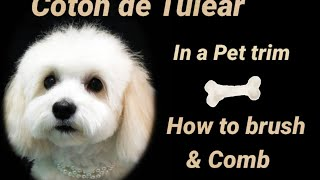 Coton de Tulear how to Brush and Comb for shorter hair