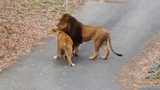 多摩動物公園(ライオン) 恐妻に変身