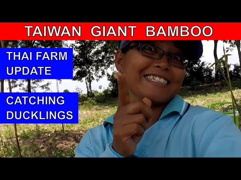 GROWING TAIWAN GIANT BAMBOO ON A THAI FARM Rural life Thailand Homestead THAI VLOG วิดีโอตลก