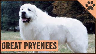 Great Pyrenees  Pyrenean Mountain Dog