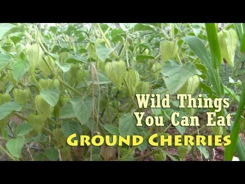 Ground Cherries Aka Wild Tomatillos
