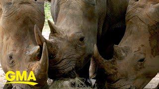 Disney's Animal Kingdom announces 3 rhinos are expecting at park l GMA Digital