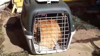 Кошка не хочет уезжать с дачи