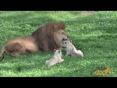 Cute Lion Cubs Playing With Dad at Mogo Zoo