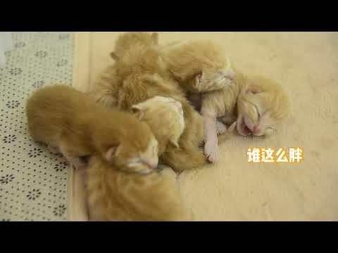 小奶猫出生第2天,竟然就会吵架了!奶凶奶凶的,也太萌了吧!