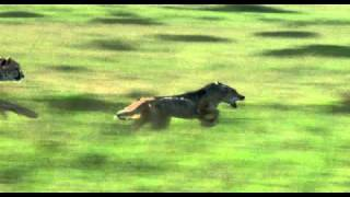 African Cats: Chasing A Dog - Clip
