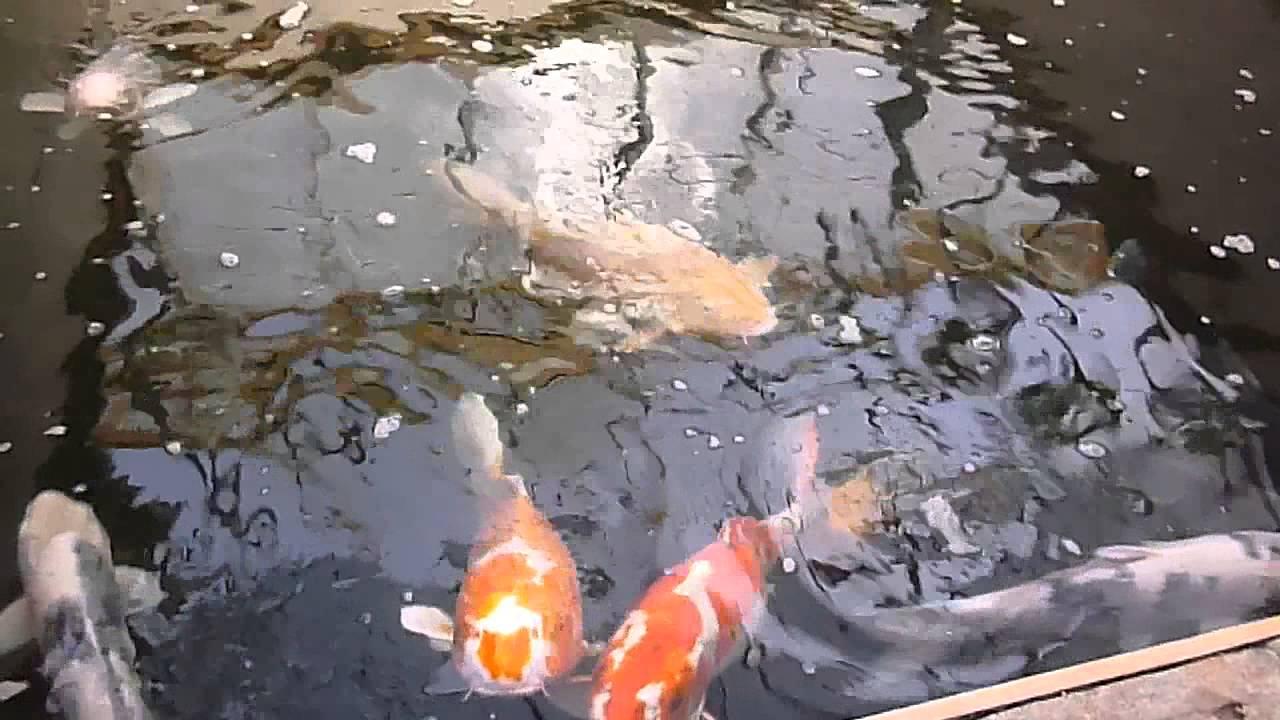 Koi fish aquaponic system youtube for Koi aquaponics