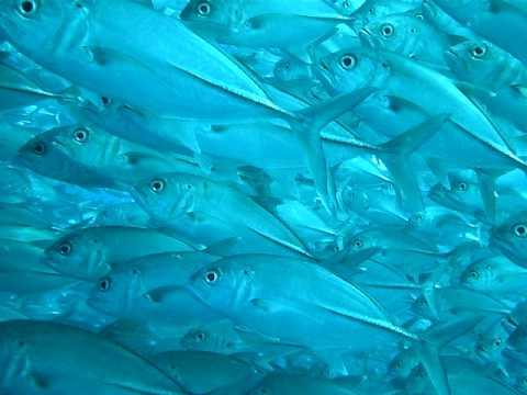 Tauchen bei Sipadan - Sulawesi Sea - Malaysia - Makrelenschwarm