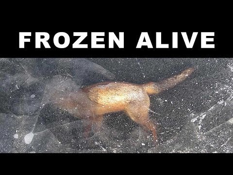 ANIMALS FOUND FROZEN IN ICE