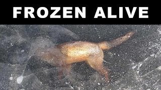 Repeat youtube video ANIMALS FOUND FROZEN IN ICE