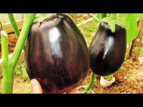Не завязываются баклажаны Секреты хороших урожаев   завязываются   подкормить   вырастить   баклажаны   хороших   урожаев   секреты   садовый   наталья   болеют