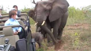 Elephant cow with calf