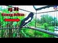Pancingan Suara Kacer Prestasi Seharga  Jt Di Jamin Auto Ngamuk Burung Kalian  Mp3 - Mp4 Download