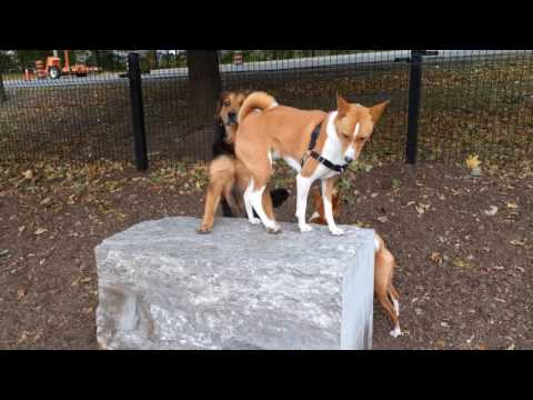 Basenji At The Dog Park
