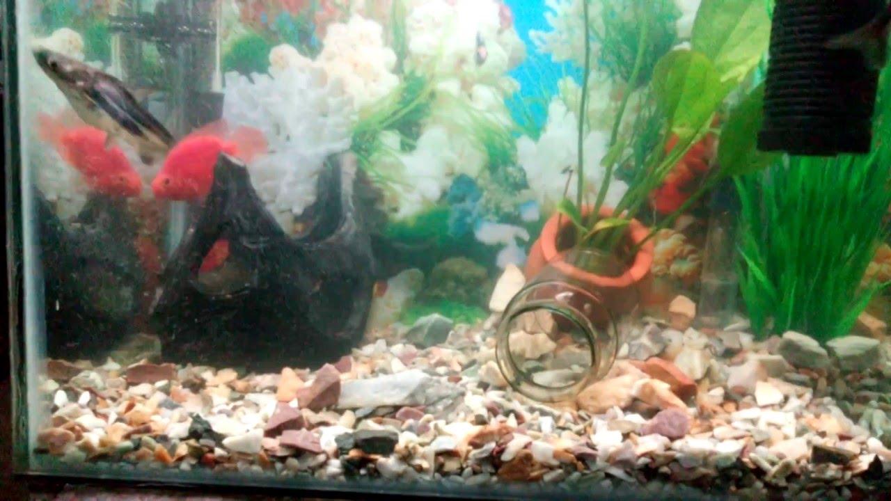 Freshwater aquarium knife fish - 13 Gallon Fresh Water Tank Oscar Blood Parrot Black Ghost Knife And More