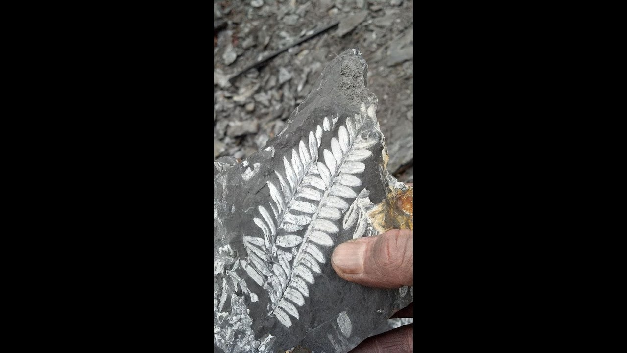 Fossil Watch Digging For Fern Fossils: Saint Clair, Pennsylvania - Youtube