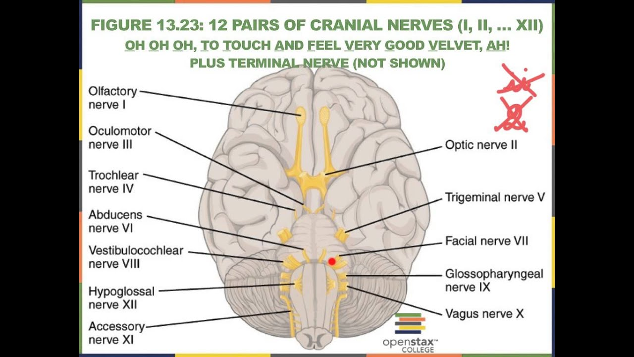 Peripheral Nervous System Cranial And Spinal Nerves Sensory