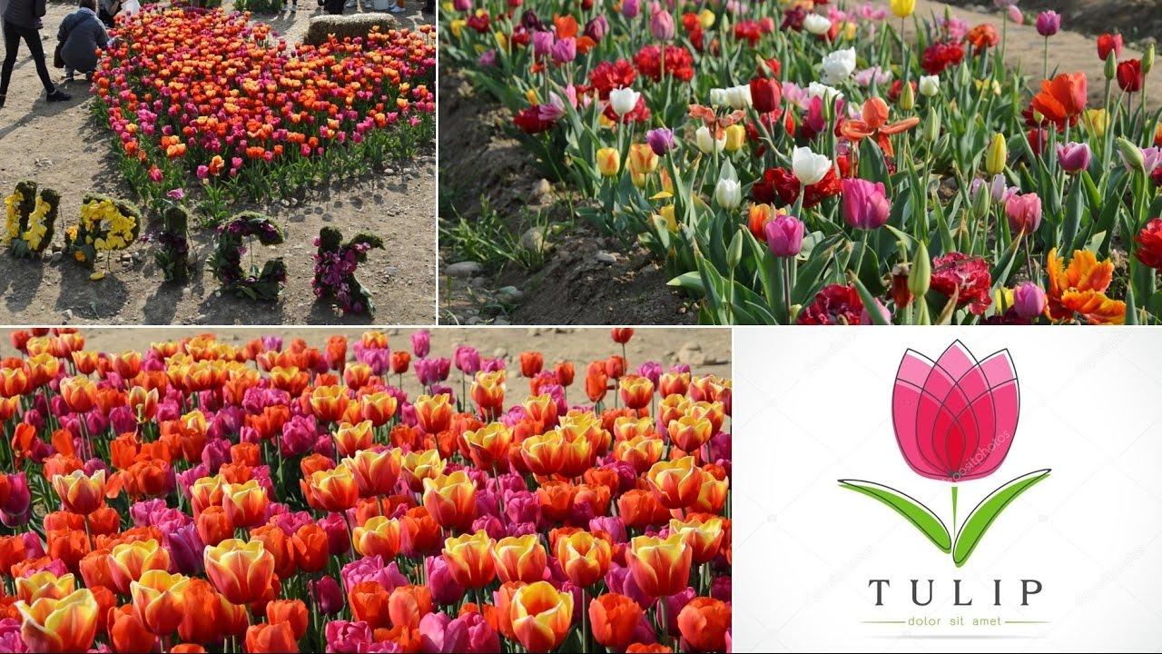 Tulipani italiani il primo campo u pick a cornaredo youtube for Tulipani italiani