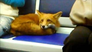 Лиса едет в метро до конечной станции