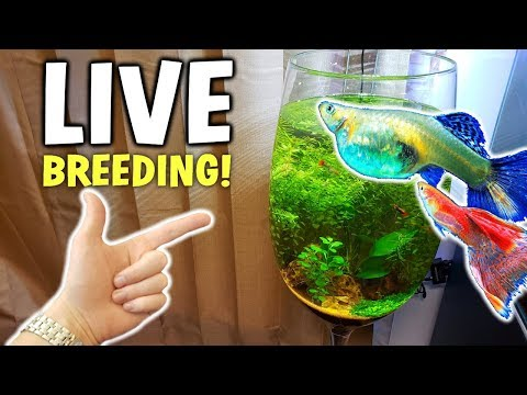 Adding LIVE BREEDING Fish To No Filter Aquarium!