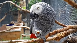 African Grey Parrot eating almond [Smooth Motion 1080p HD 60FPS]