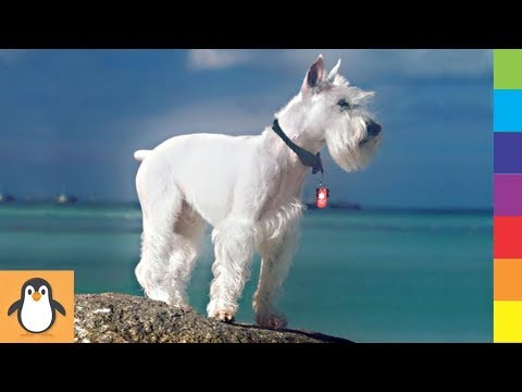 4 Schnauzer Lovers ✨ Funny and Cute Schnauzer Dogs Videos Compilation