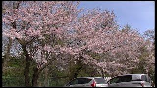 高清水公園の桜 2016 秋田市