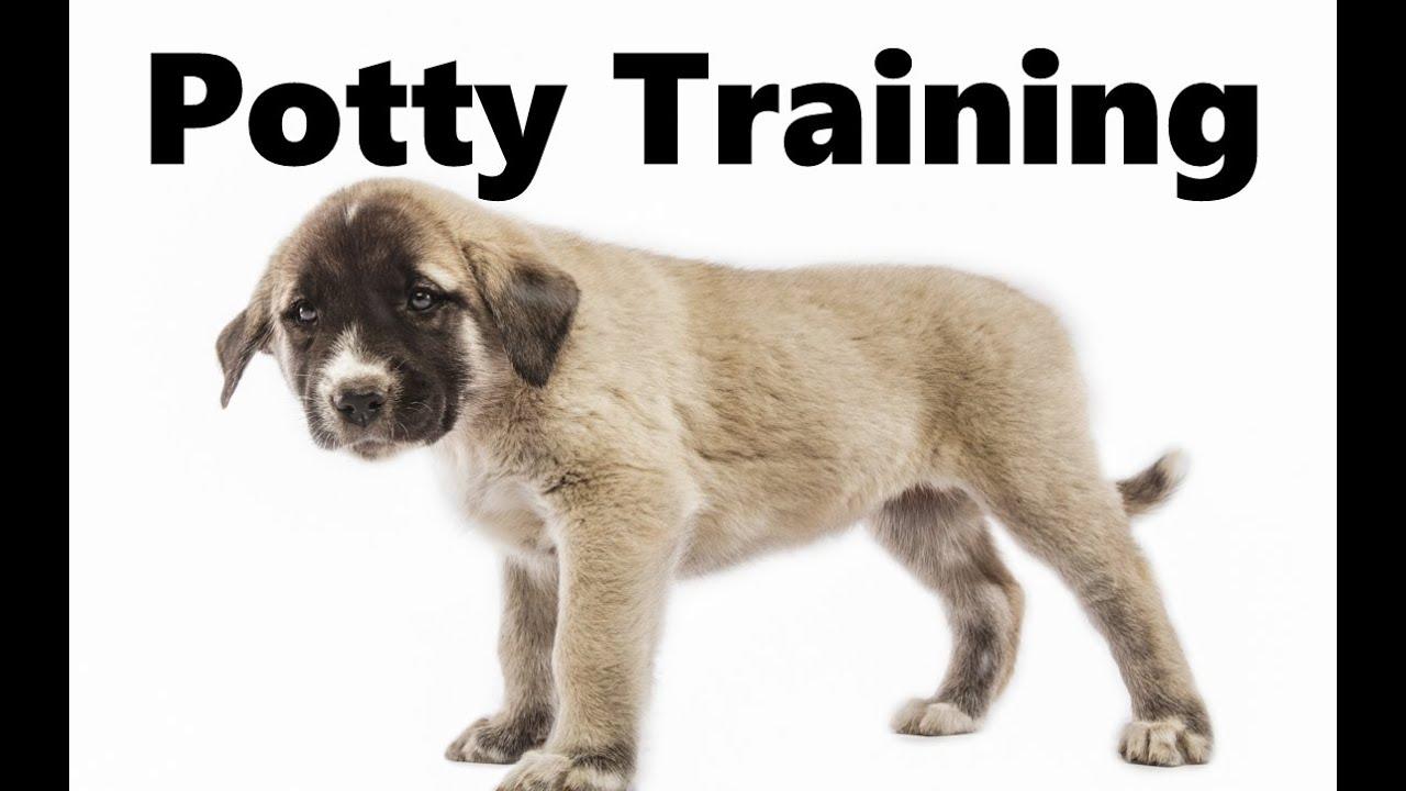 How To Potty Train An Anatolian Shepherd Puppy - Kangal ...