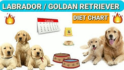 Labrador diet chart | Golden Retriever diet plan | in hindi | dog diet plan