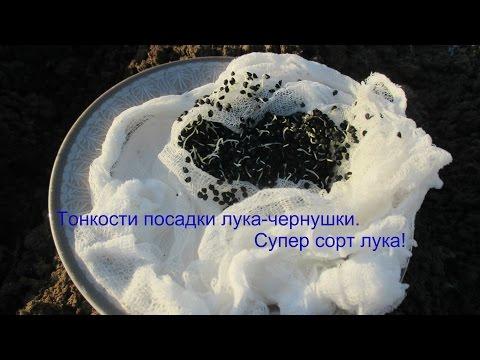 Как сеять лук чернушку в открытый грунт