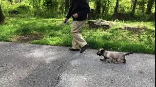 12Week Old Skye Female Skye Terrier Gaiting