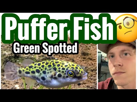 Green Spotted Puffer Fish Care - Mixing Brackish