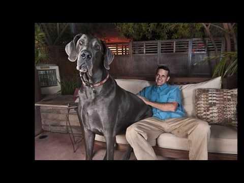 El Perro más Grande del Mundo  , The Greatest Dog World