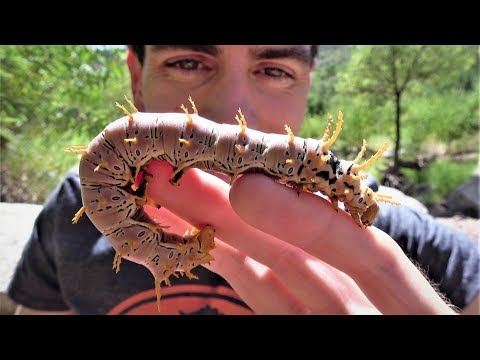 Crazy & Colossal Caterpillars: Catapocalypse of Critters! Funny Nature & Fun easy Travel, West US AZ Mp3