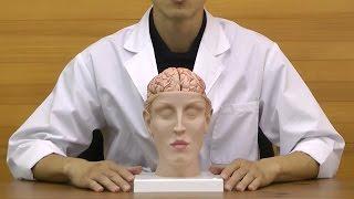 脳表面の動脈から脳底動脈まで観察できる脳と頭部の模型│C25
