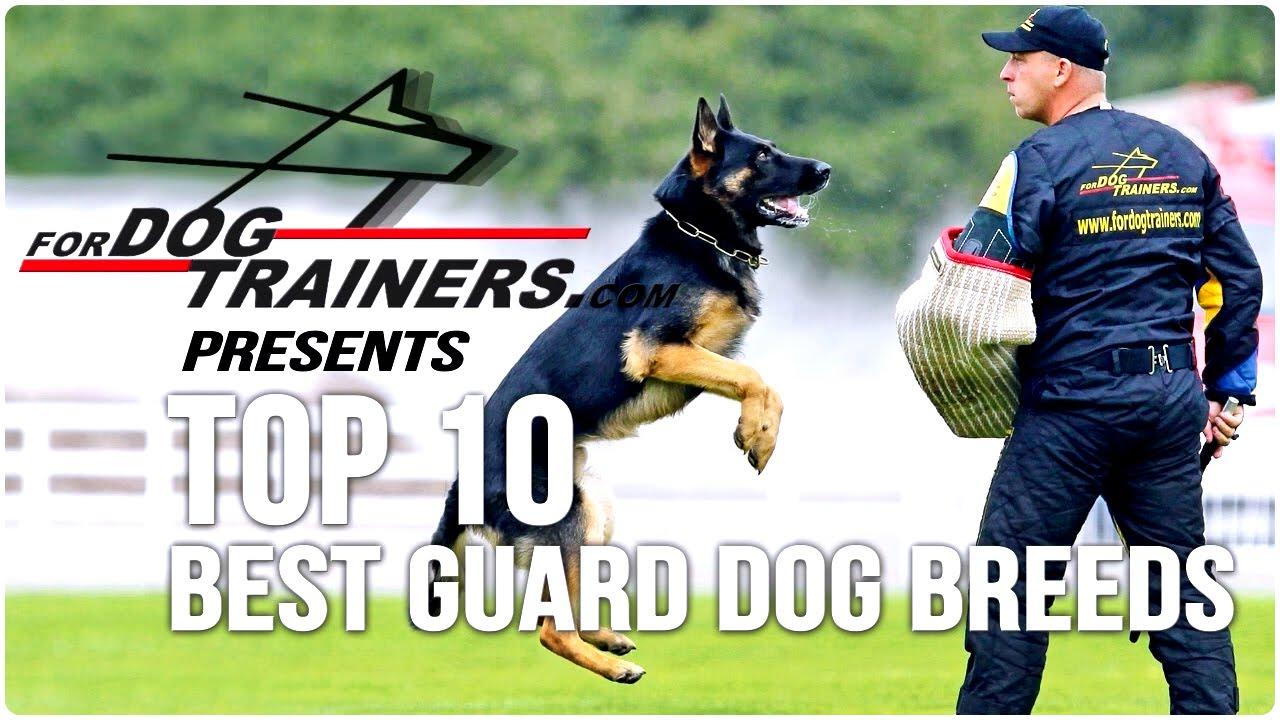 Best Medium Sized Family Guard Dog
