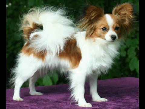 animals Papillon Dog