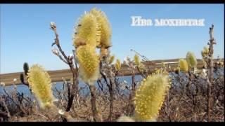 видео Растения в тундре