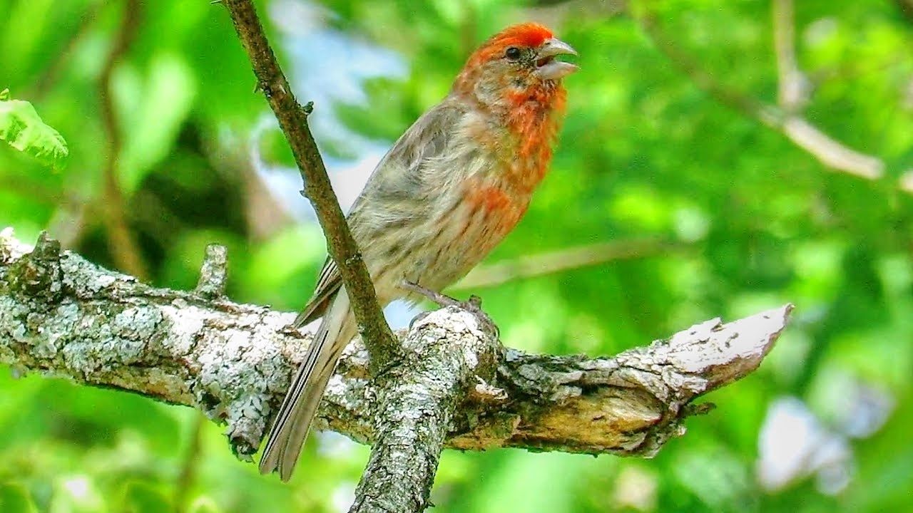 House Finch Call - YouTube
