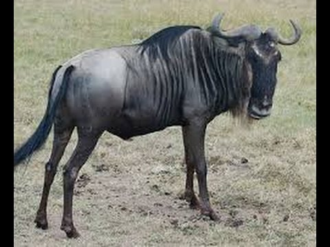 Wildebeest (disambiguation)