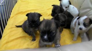 MIX犬の子犬 パピヨン×チワワ 2009年12月20日生まれ 札幌・旭川のペット...